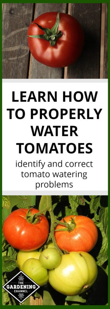 harvested tomato on wood and tomatoes growing in garden with text overlay learn how to properly water tomatoes identify and correct tomato watering problems