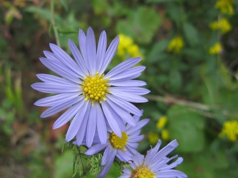Aster in Mark Twain National Forest