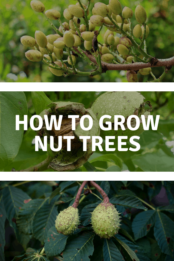 pistachio walnut chestnut trees with text overlay how to grow nut trees