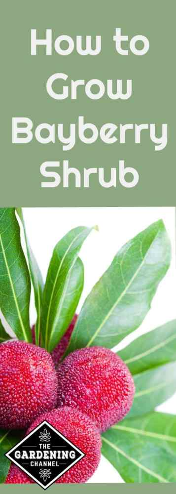 Growing Bayberry shrubs