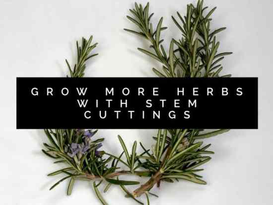 How To Propagate Herbs by Stem Cuttings