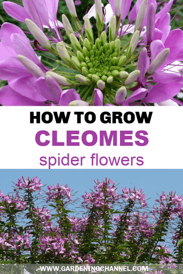 close up of cleome flower and full cleome plant with text overlay how to grow cleomes spider flowers