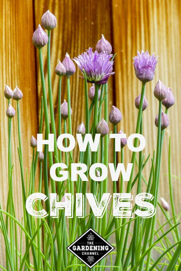 chives growing by fence with text overlay how to grow chives