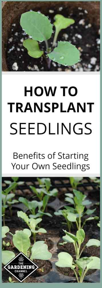 close up of seedling and tray of seedlings with text overlay how to transplant seedlings benefits of starting your own seedlings
