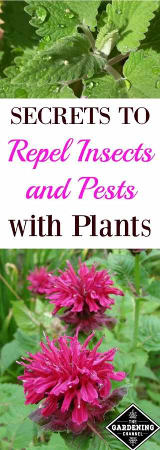 Plants That Repel Bugs And Pests Gardening Channel