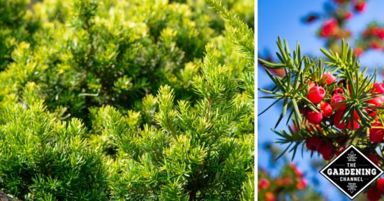 How To Grow Japanese Yew Shrubs Gardening Channel