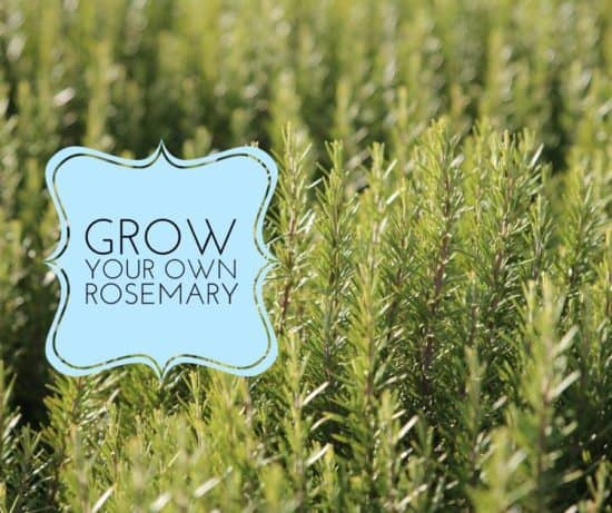 how to grow rosemary herbs