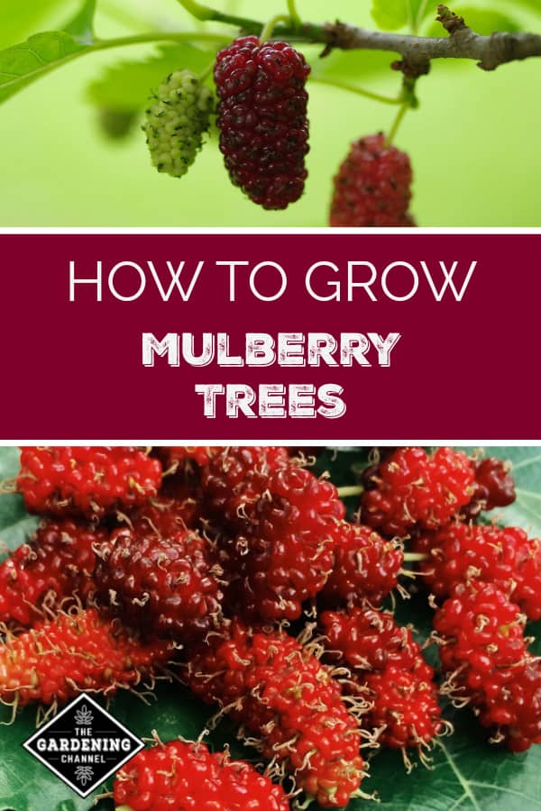 close up of growing mulberries and close up of mulberries with text overlay how to grow mulberry trees