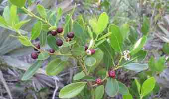 How to Grow Inkberry (Evergreen Winterberry) Shrubs