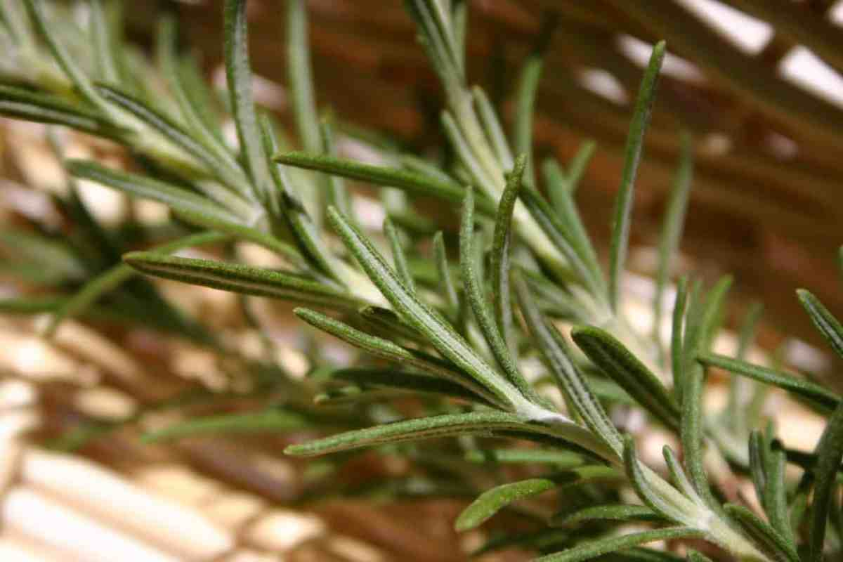 How to Grow Rosemary Herbs at Home