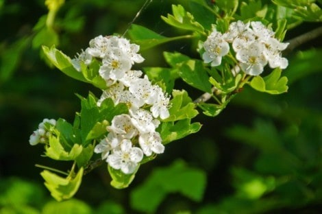 How to Grow Hawthorn Trees Gardening Channel