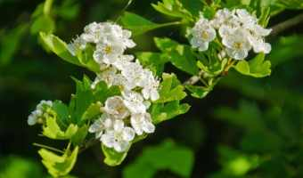 How to Grow Hawthorn Trees