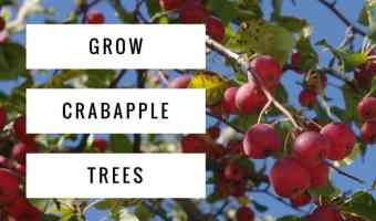 How to Grow Crabapple Trees