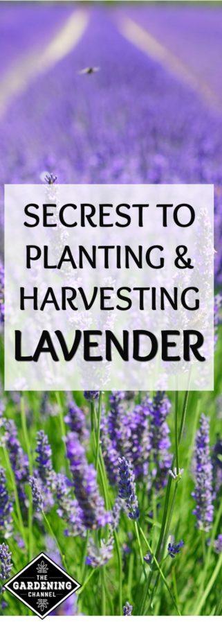 secrets to planting and harvesting lavender