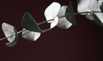 How to Grow Eucalyptus Trees