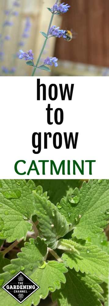 catmint bloom with bee closeup catmint leaves with text overlay how to grow catmint