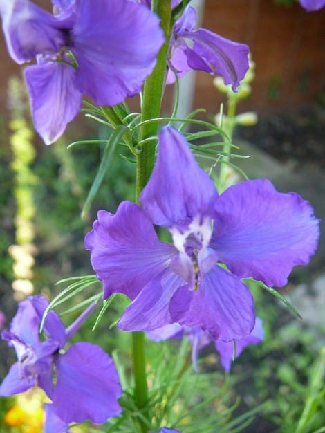 how to grow larkspur flowers gardening channel