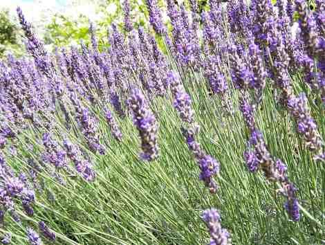 plant-lavender-2