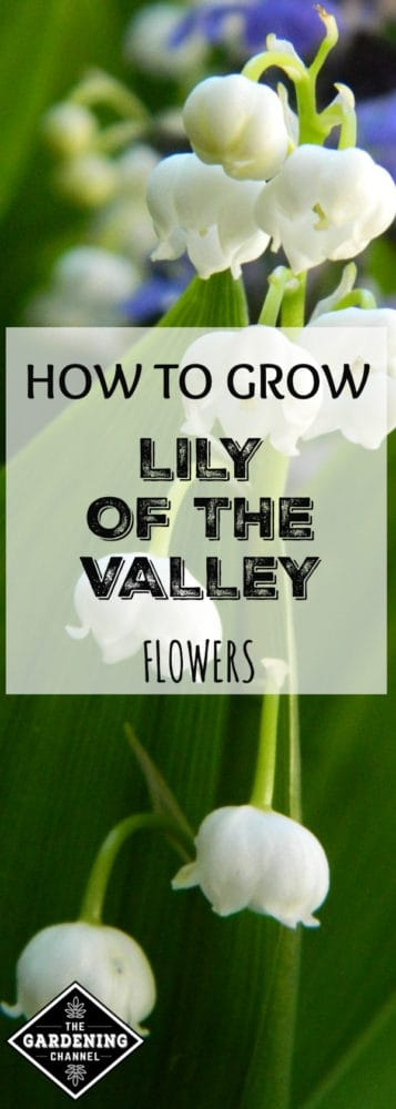closeup of lily of the valley plant with text overlay how to grow lily of the valley flowers