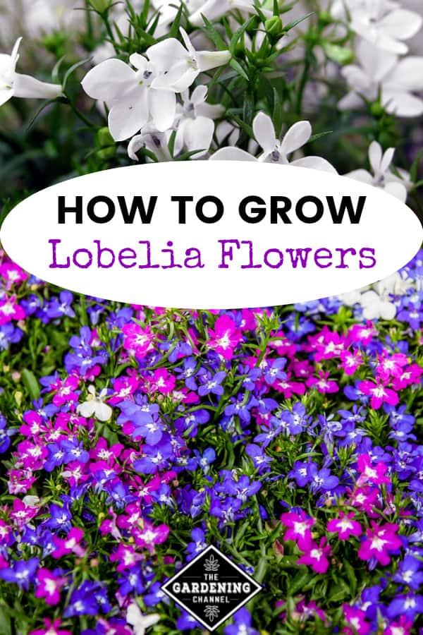 white lobelia and purple blue lobelia with text overlay how to grow lobelia flowers