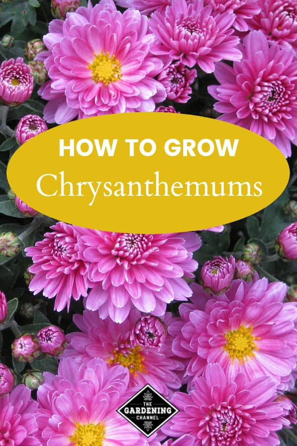 pink chrysanthemums with text overlay how to grow chrysanthemums