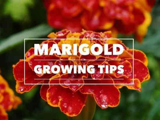 Growing Marigolds
