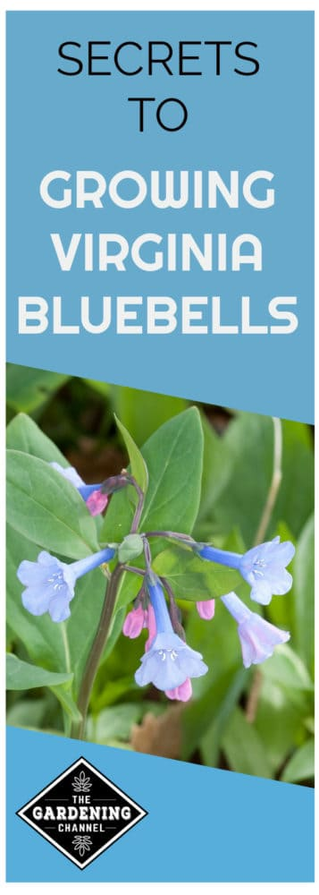 close up of virginia bluebells with text overlay secrets to growing virginia bluebells