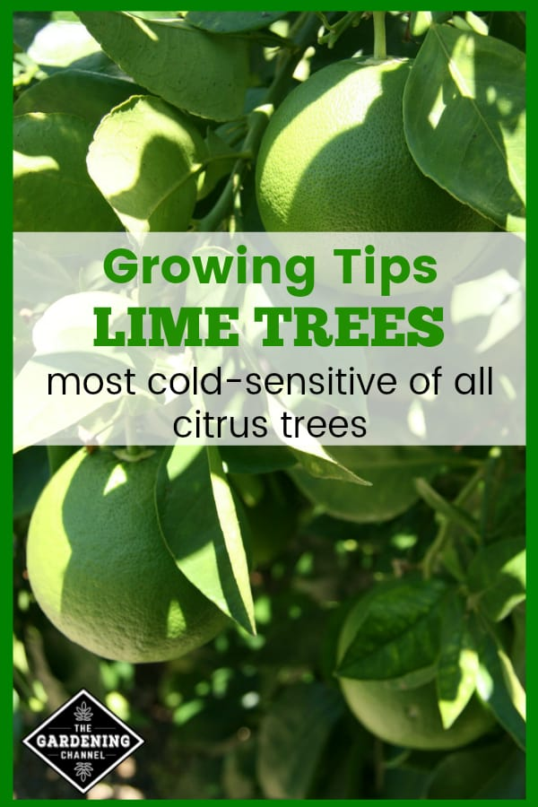 limes growing on tree with text overlay growing tips lime trees most cold sensitive of all citrus trees