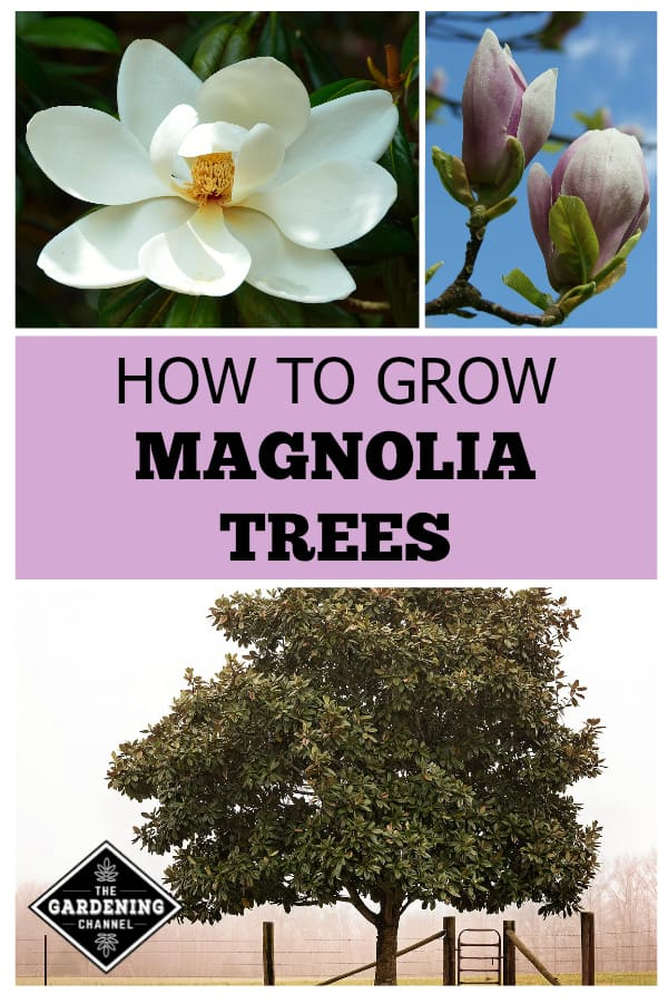 white magnolia bloom tulip magnolia blooms large magnolia tree with text overlay how to grow magnolia trees