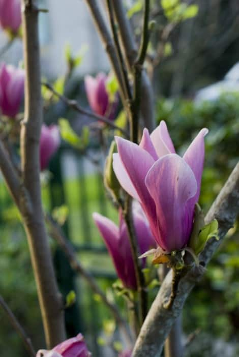 magnolia-grow