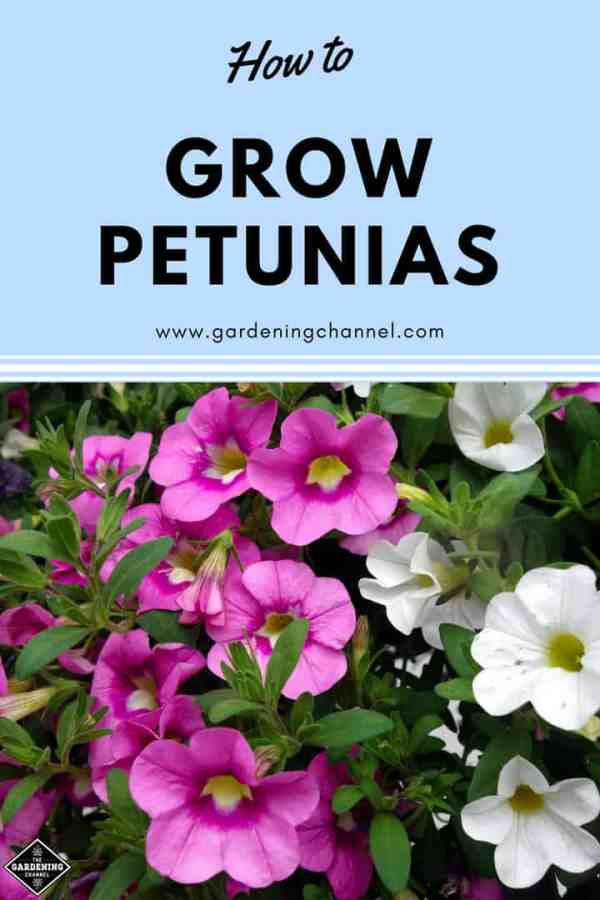 pink and white petunias with text overlay how to grow petunias