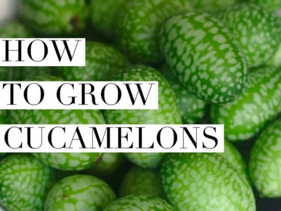 How to Grow Cucamelon