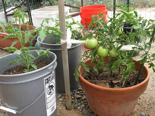 The Complete Guide To Growing Tomatoes In Containers Gardening