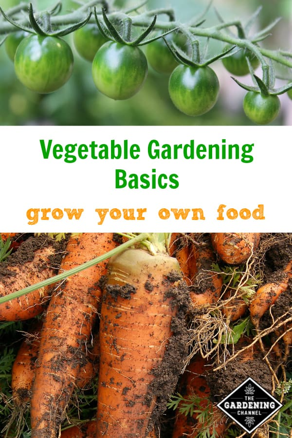 tomatoes and harvested carrots with text overlay vegetable gardening basics grow your own food