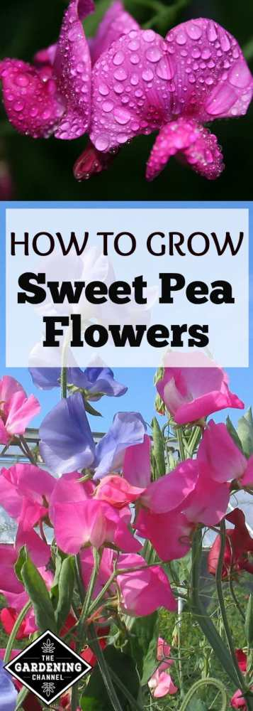 how to grow sweet pea flowers