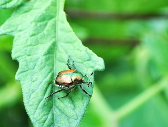 Japanese beetles are pesky garden pests