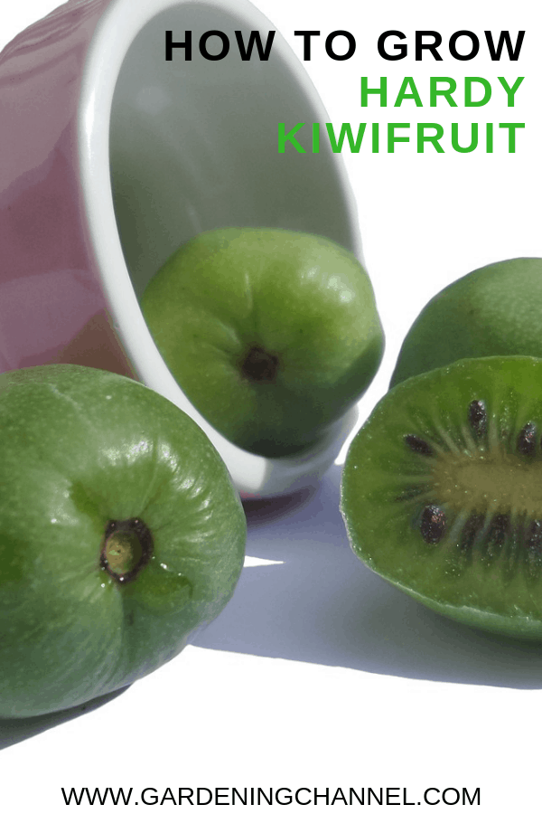 harvested kiwifruit with text overlay how to grow hardy kiwifruit