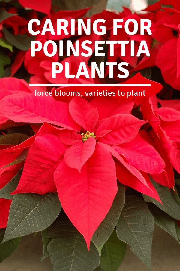 closeup of red poinsettia flower with text overlay caring for poinsettia plants force blooms varieties to plant