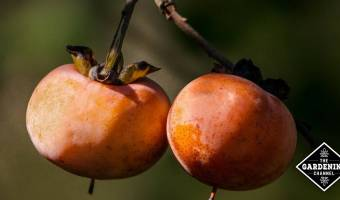 How to Grow Persimmon Trees
