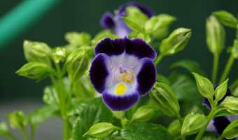 Pretty purple torenia