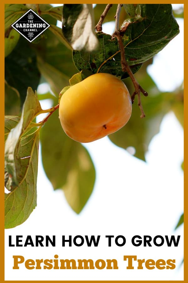 persimmon growing on tree with text overlay learn how to grow permimmon trees