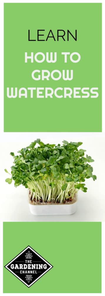 watercress growing indoors with text overlay learn how to grow watercress