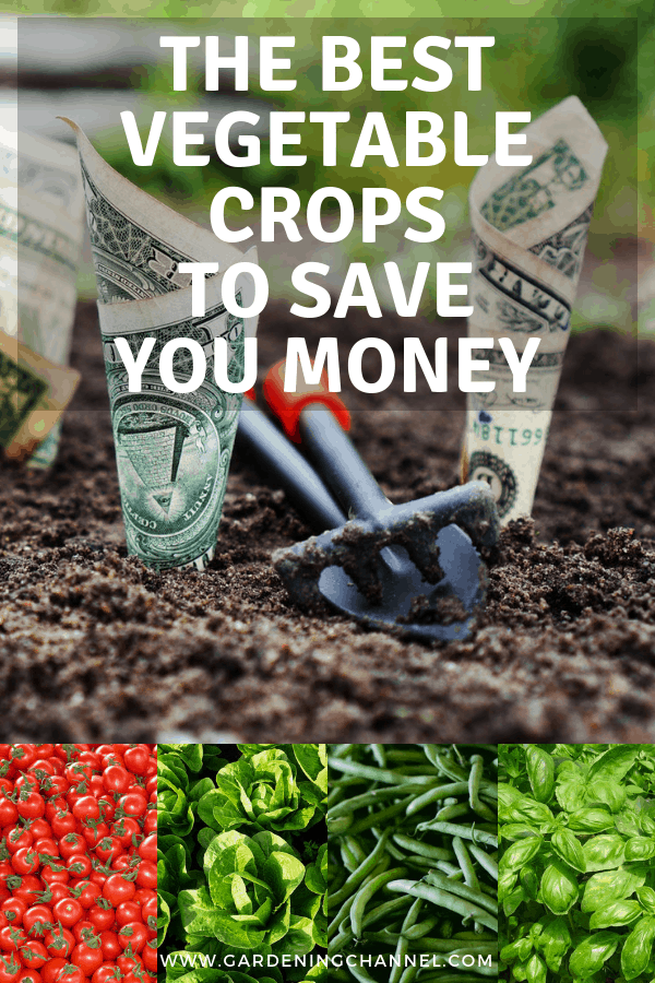 dollar bills growing in the garden tomatoes lettuce basil green beans with text overlay the best vegetable grops to save you money