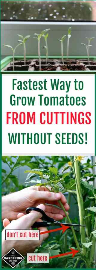 How to grow tomato plants from cuttings