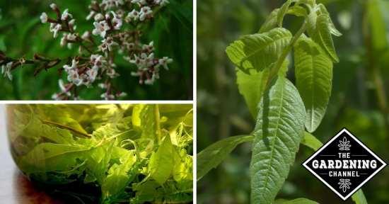 Growing Lemon Verbena