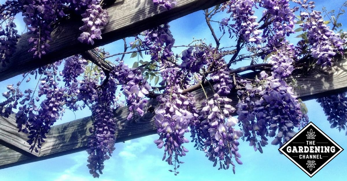 How To Grow And Care For Wisteria Flowering Vines Gardening Channel