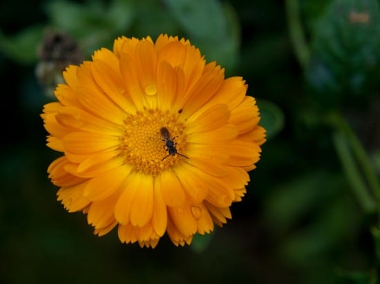 Marigolds are said to repel many garden insects