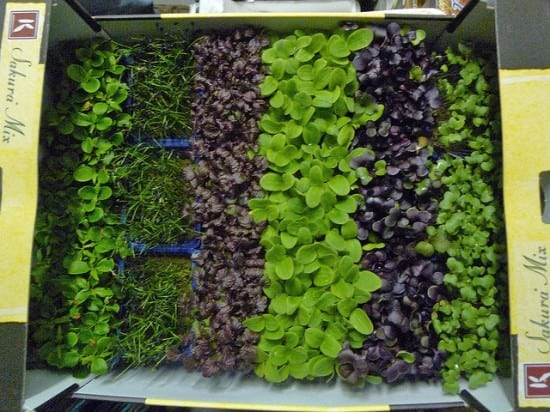 Grow microgreens at home