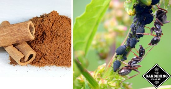 howto get rid of ants in your vegetable garden