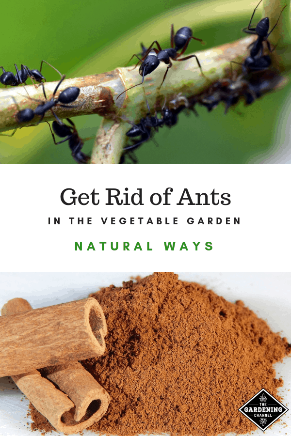 ants ground cinnamon with text overlay get rid of ants in the vegetable garden natural ways